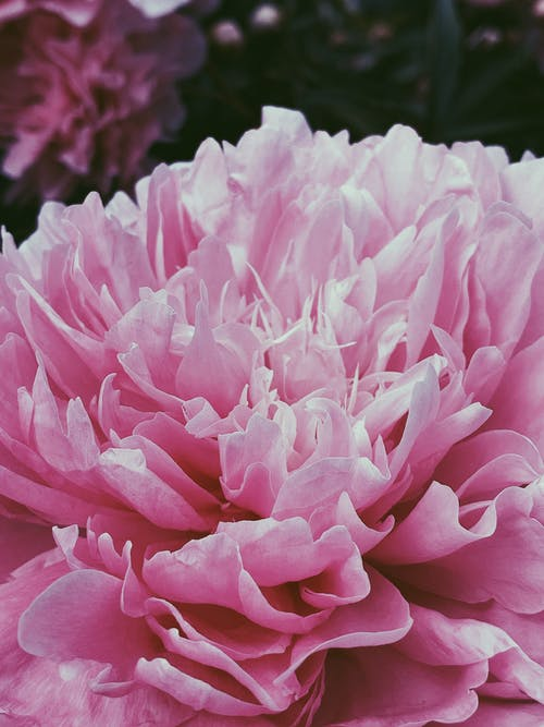 Blooming pink peony in sunny garden