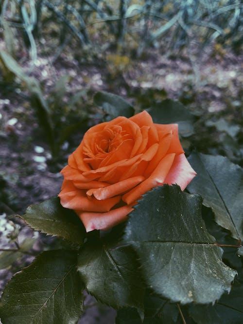 Blossoming orange rose in summer garden