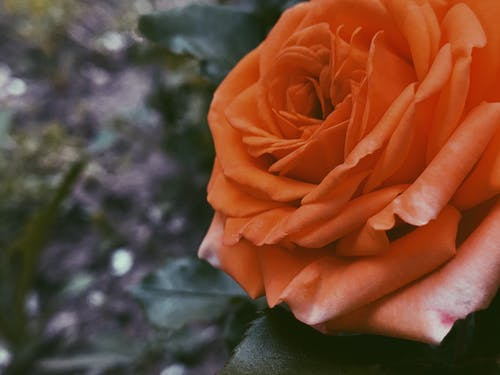 From above decorative closeup rose of orange color cultivated in lush summer garden