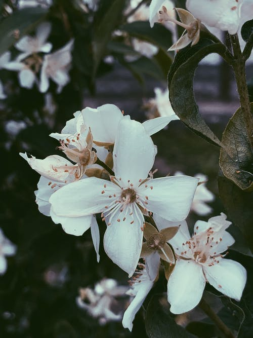 Pear tree blossoming with white flowers in garden