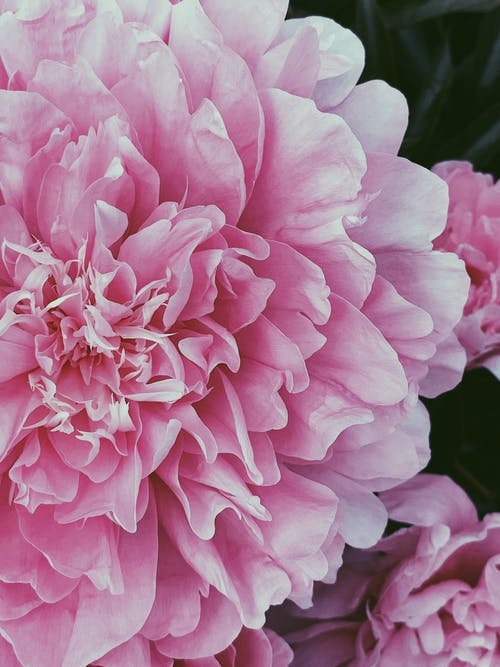 Blooming pink peony flower in garden