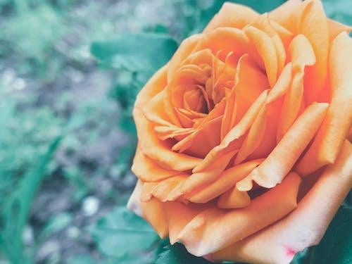 Scenery of gentle rose with unusual orange petals blossoming in summer green garden