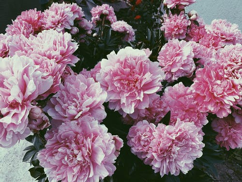 Big bouquet of pink peony flowers
