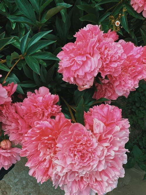 Top view scenery of bright pink peony flowers blossoming in sunny summer park