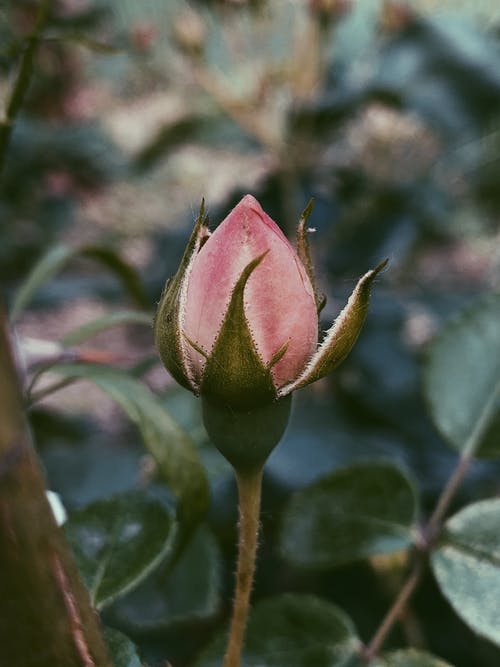 Bud of pink peony growing in nature