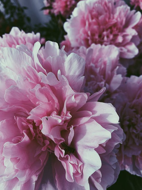 Top view closeup many decorative pink peony flowers cultivated in lush abundant garden