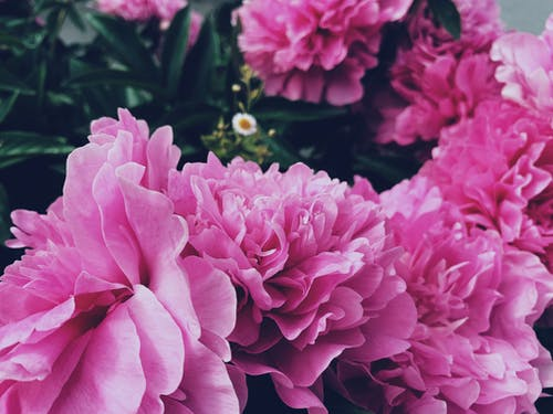 Bright pink peony flowers in green park