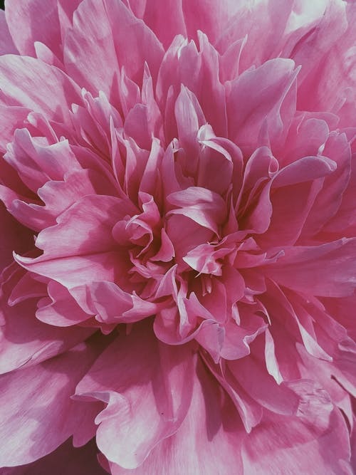 Fresh vivid peony flower of pink color