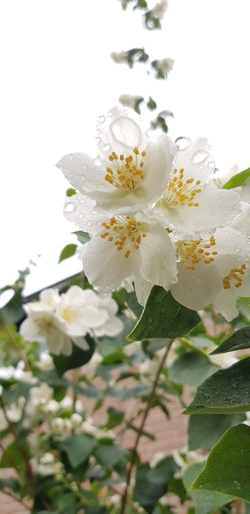 Ảnh lưu trữ miễn phí về cận cảnh, giọt mưa, giọt nước, Hoa màu trắng