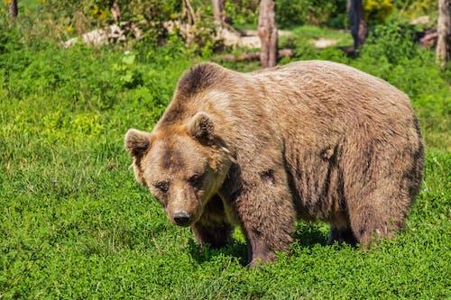 Základová fotografie zdarma na téma bestie, chlupatý, medvěd, medvěd hnědý