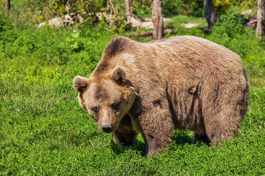 Free stock photo of nature, animal, bear, hairy