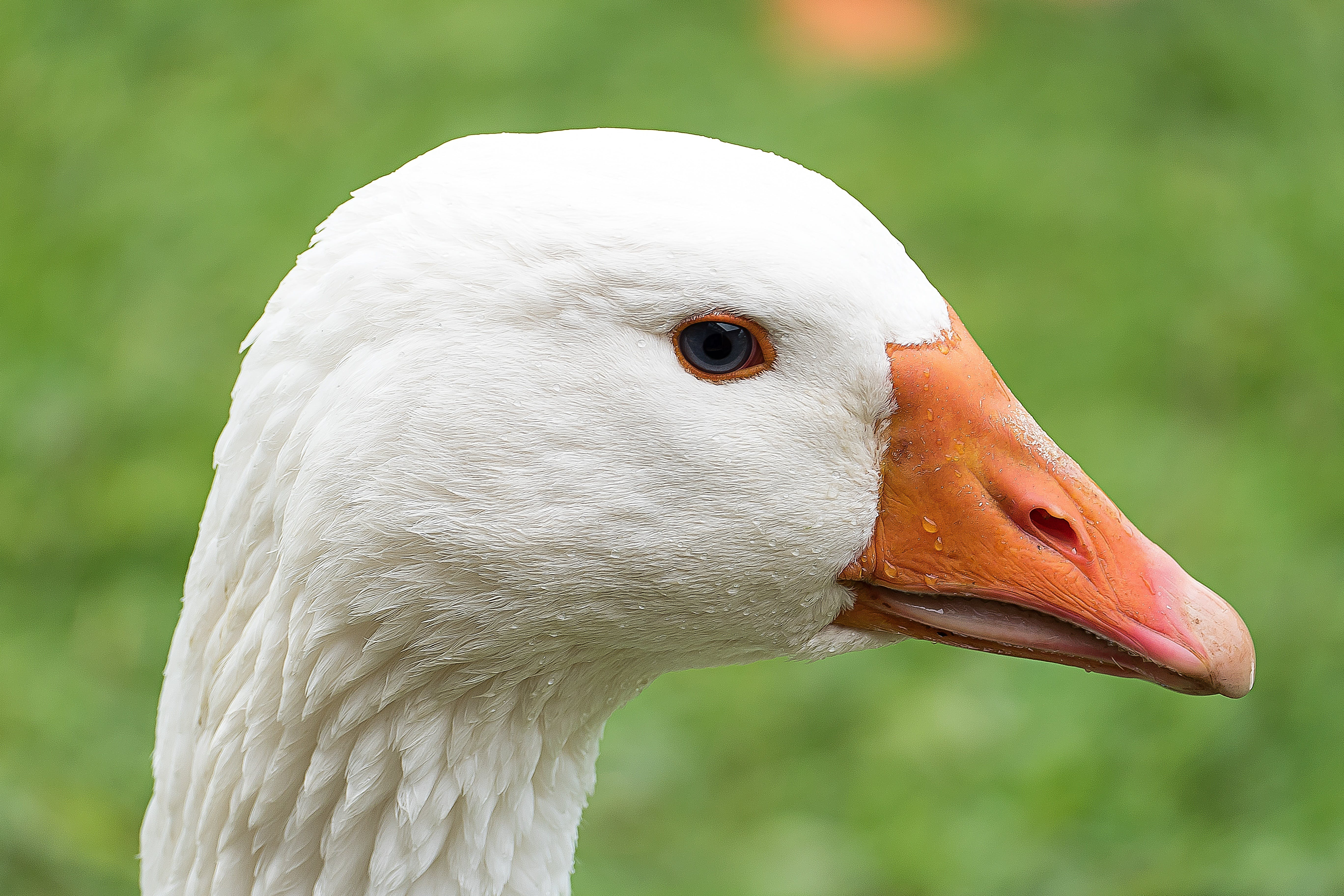 White Fur and Orange Beak Animal