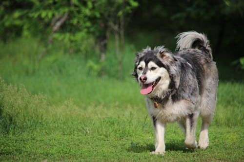 Purebred dog with tongue out strolling on green lawn in forest
