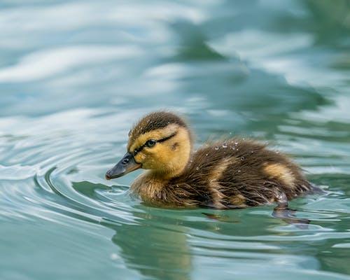 Adorable mallard duckling floating on lake water