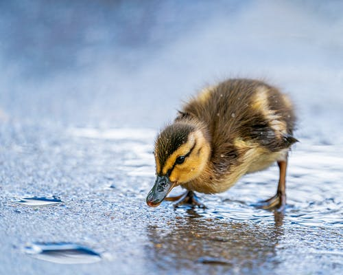 Cute duckling drinking water on pond shore
