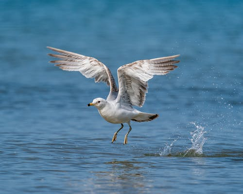 Seagull flying over rippling water surface