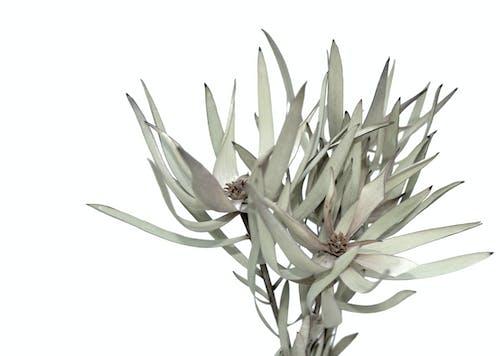 Gratis arkivbilde med australsk blomst, australsk plante, conebush, conebushes