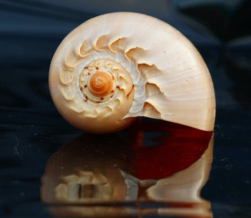 Beige seashell on glossy surface