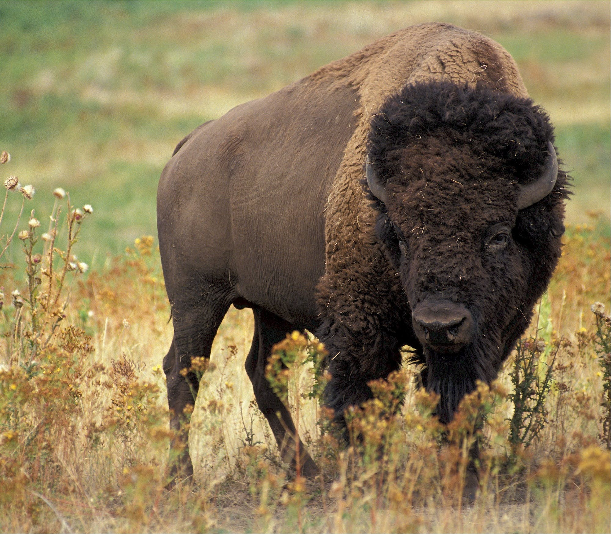 bizon, buvol, divočina