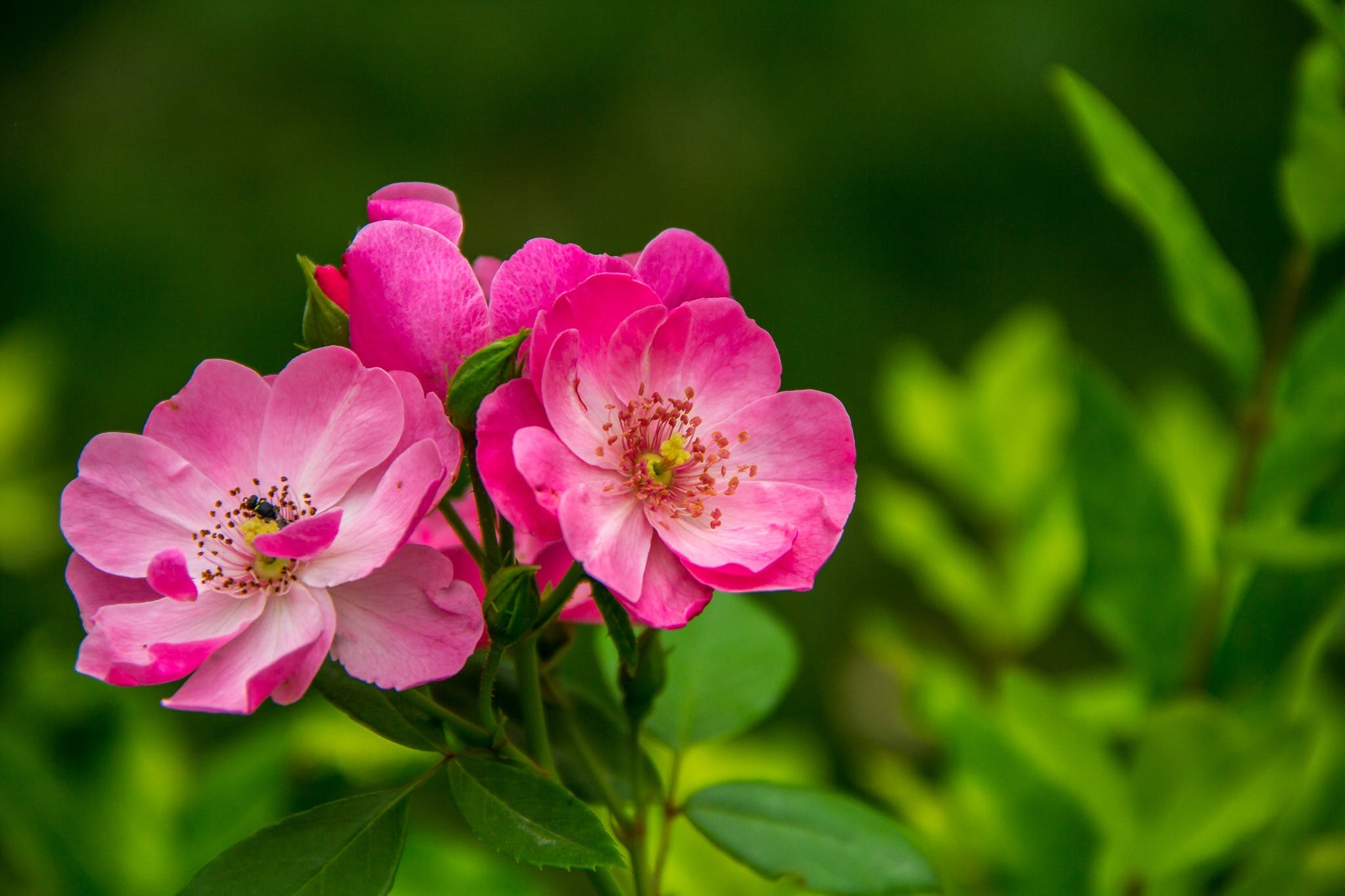 Close Photography of 3 Pink and White Flower