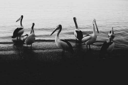 Grayscale Photo of Three Pelicans on Shore