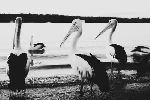 Grayscale Photo of Pelicans on Beach