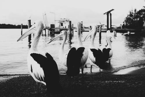 Grayscale Photo of Pelican Birds on Beach