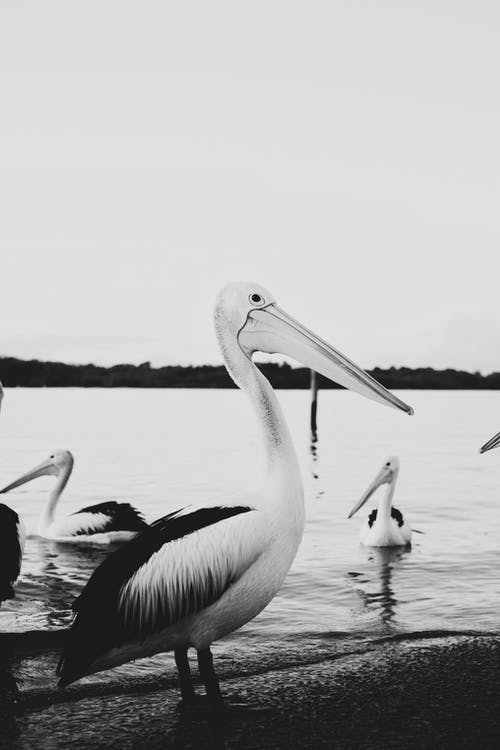 Grayscale Photo of Pelicans on Water