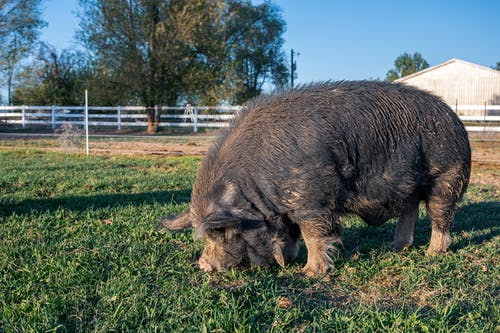 Brown Pig on Green Grass Field