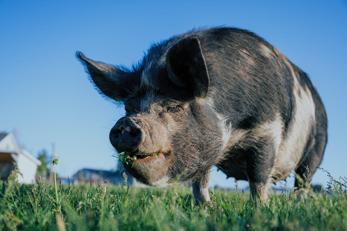 Black Pig on Green Grass Field