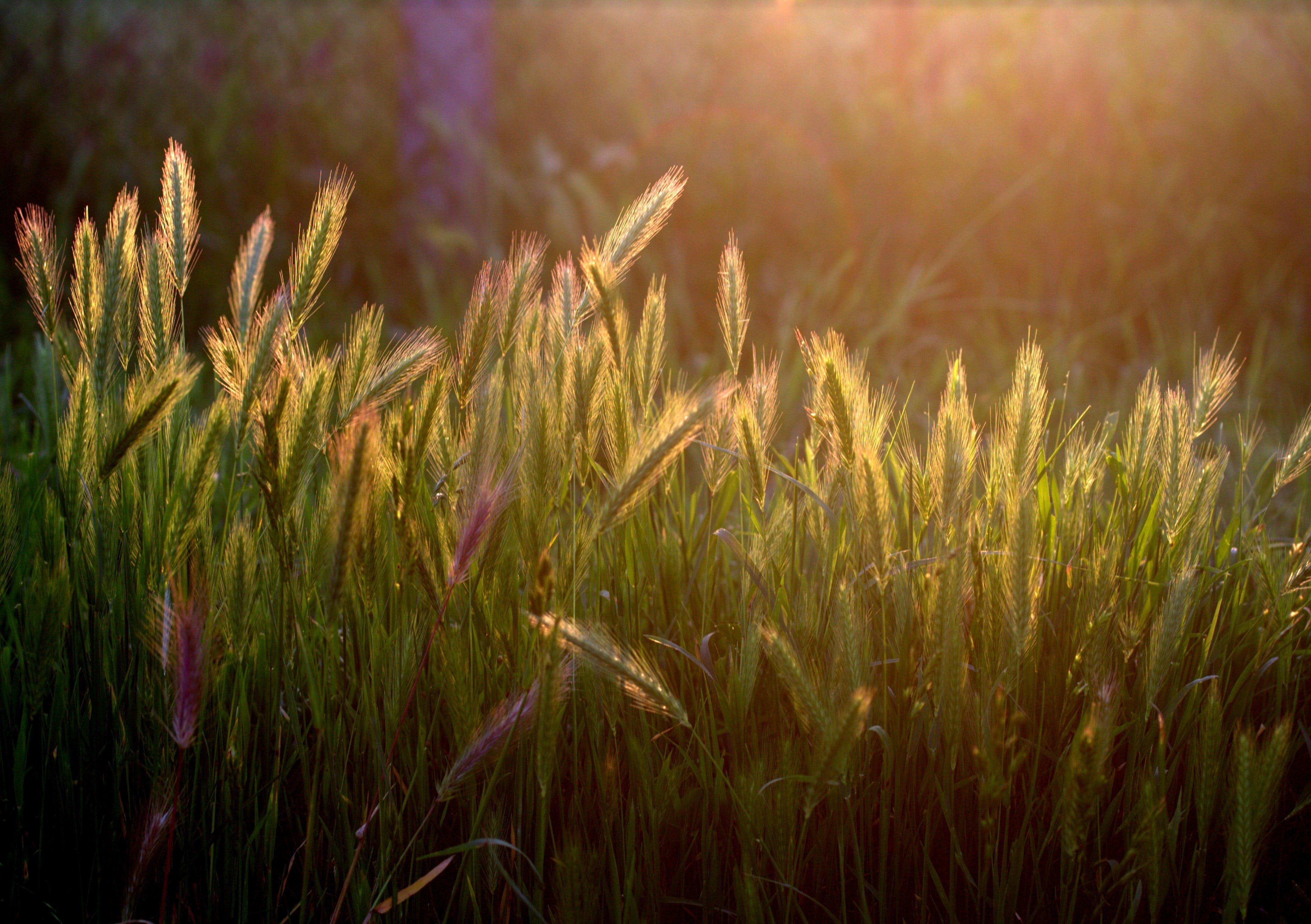 Ilmainen kuvapankkikuva tunnisteilla jyvä, kasvikunta, kasvu, kenttä