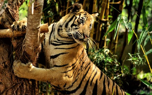 Tiger Leaning on Brown Tree Branch