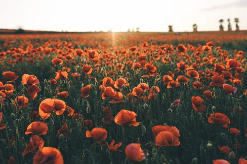 Photo Of Poppy Flowers During Daytime