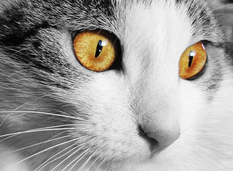 White and Gray Cat With Yellow Eyes in Selective Color Photography