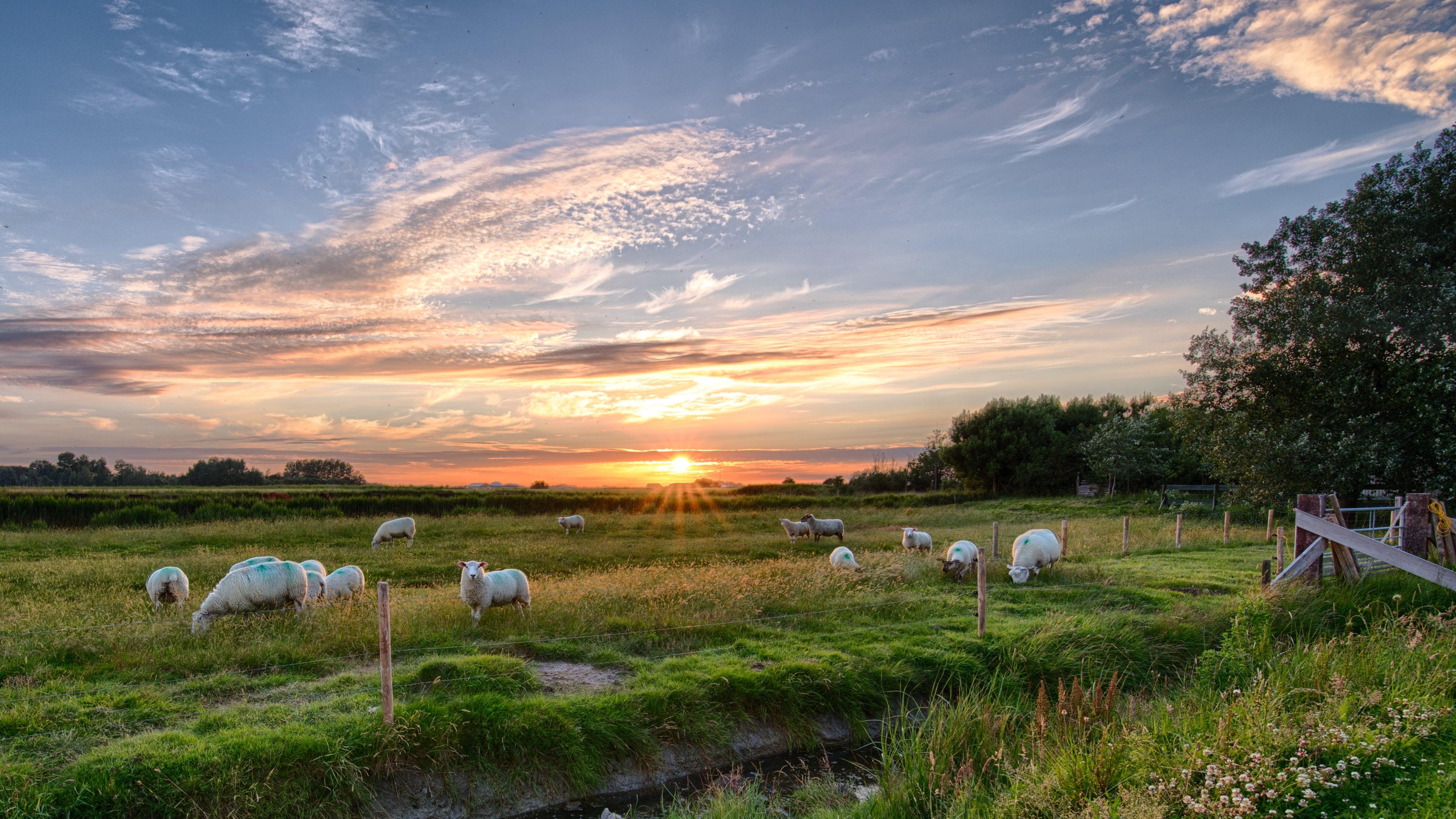 Herd of Sheep on Green Grass Field