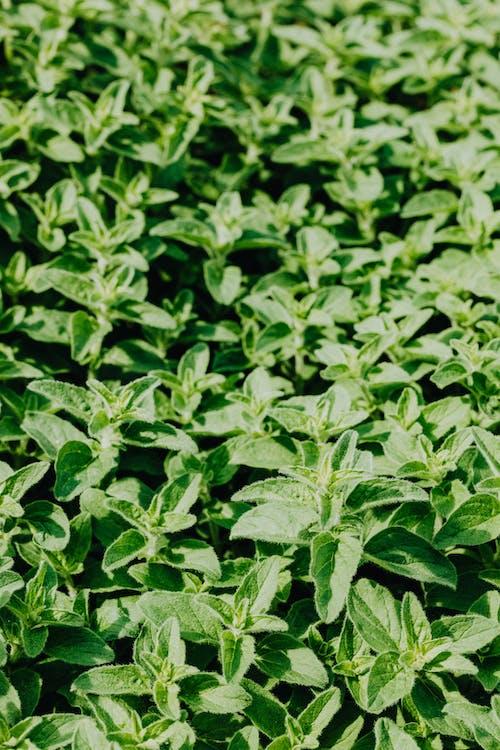 Photos gratuites de à base de plantes, agriculture, aromatique, arrière-plan