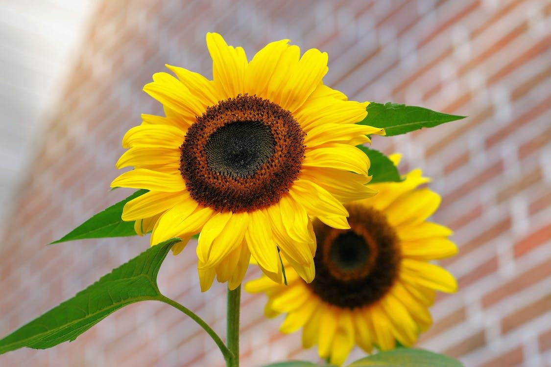 Yellow Sunflower Macro Photographyt