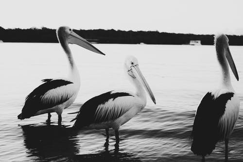 Grayscale Photo of Pelican Birds on Water