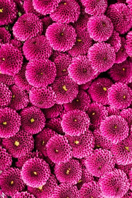 Imagine de stoc gratuită din crizantemă, flori, flori roz, fundal