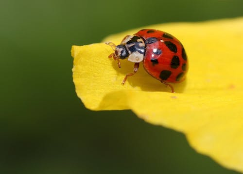 Black and Red Beetle