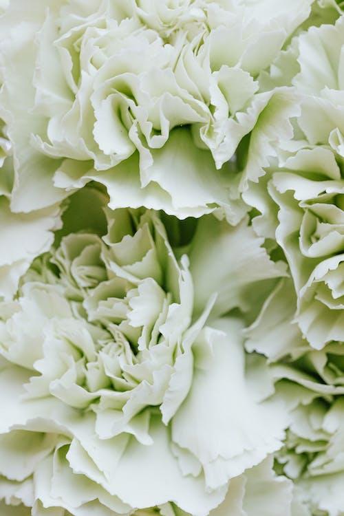 Бесплатное стоковое фото с белые цветы, красивая, крупный план