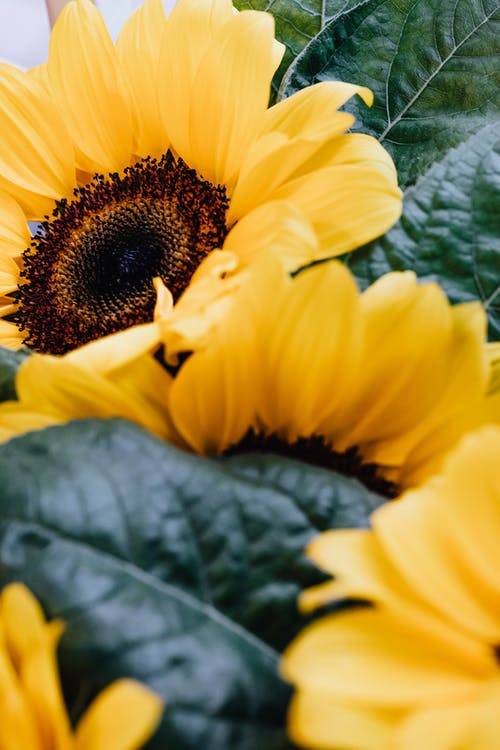 Close Up Photography of a Sunflower