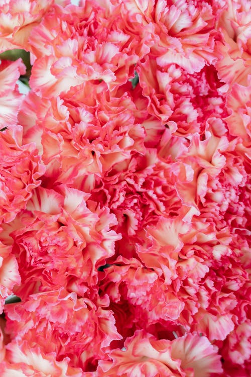 Close Up of Pink Flowers