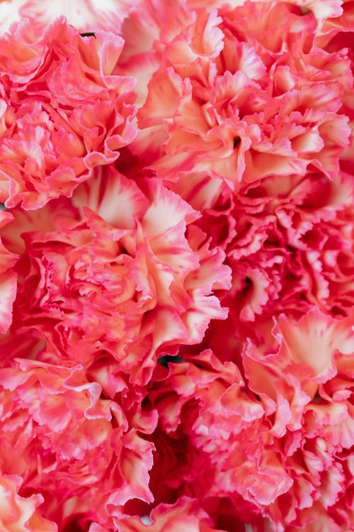 Darmowe zdjęcie z galerii z goździk, kwiatowy tło, kwiaty, różowe kwiaty