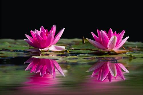 Two Lotus Flowers Surrounded by Pods Above Water