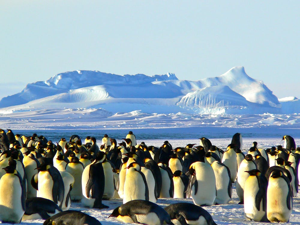 Grupo De Pingüinos Sobre Hielo