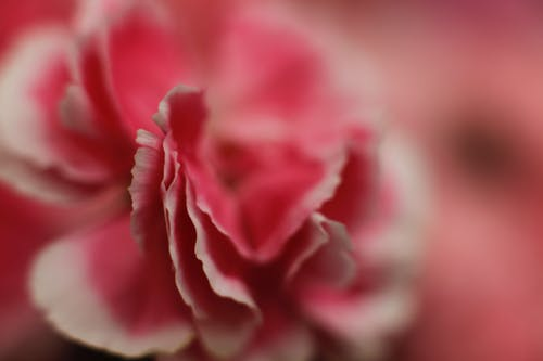 Pink and Pink Petaled Flower