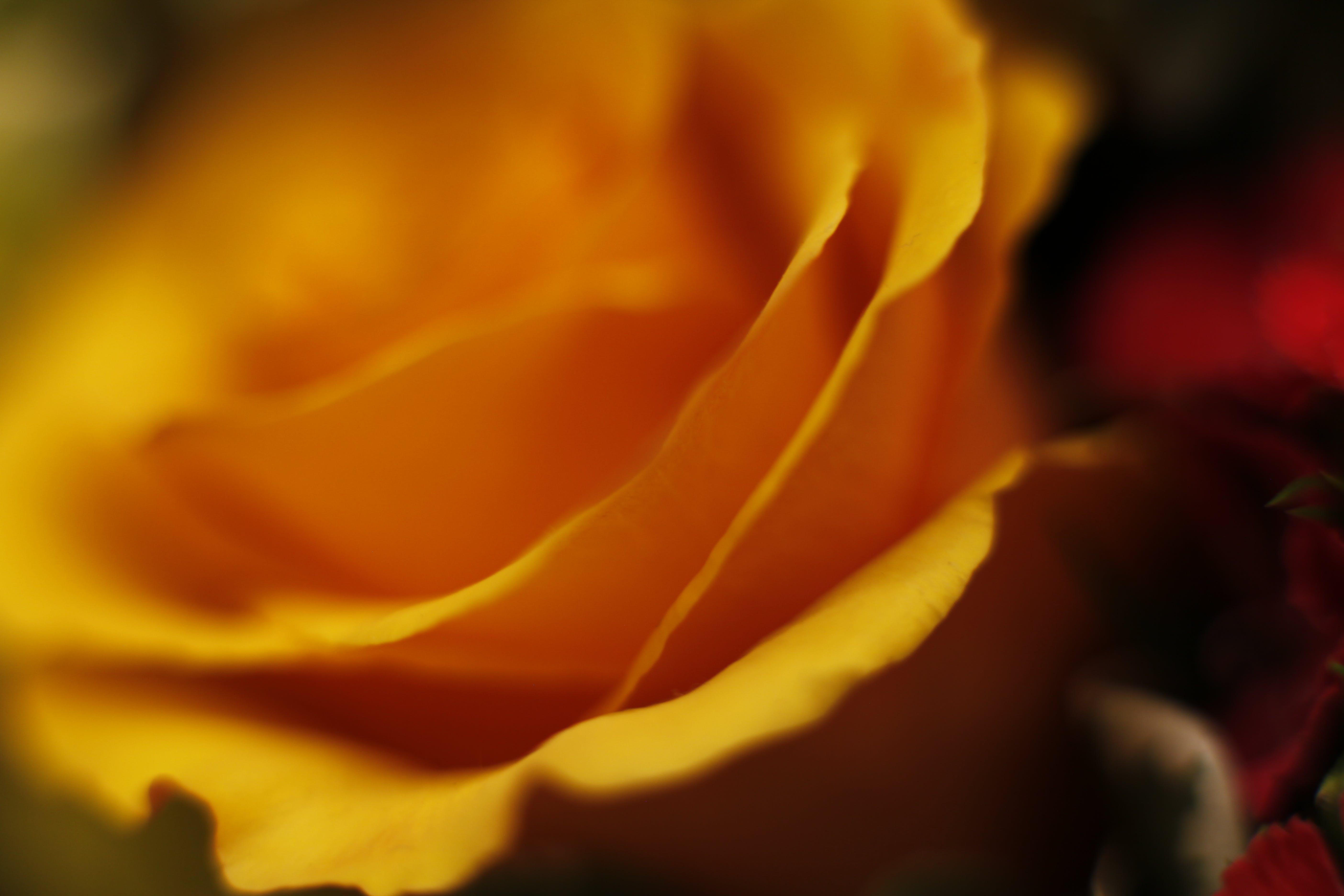Free stock photo of flower, bokeh, macro