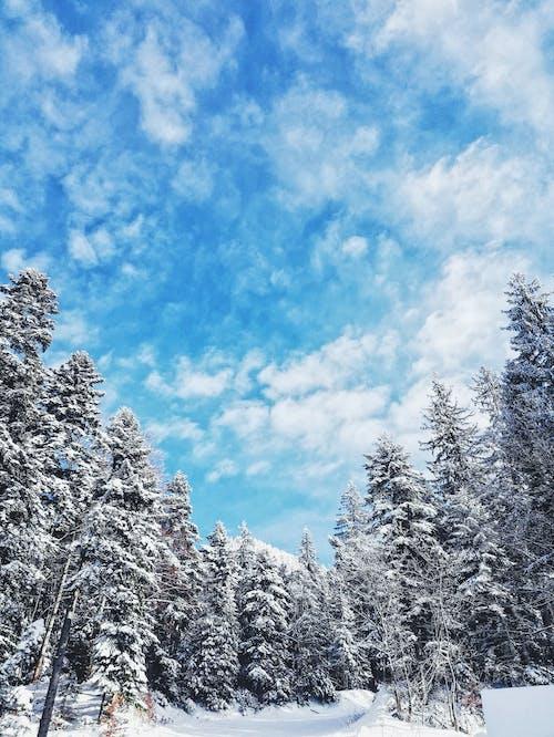 가문비, 감기, 겨울의 무료 스톡 사진