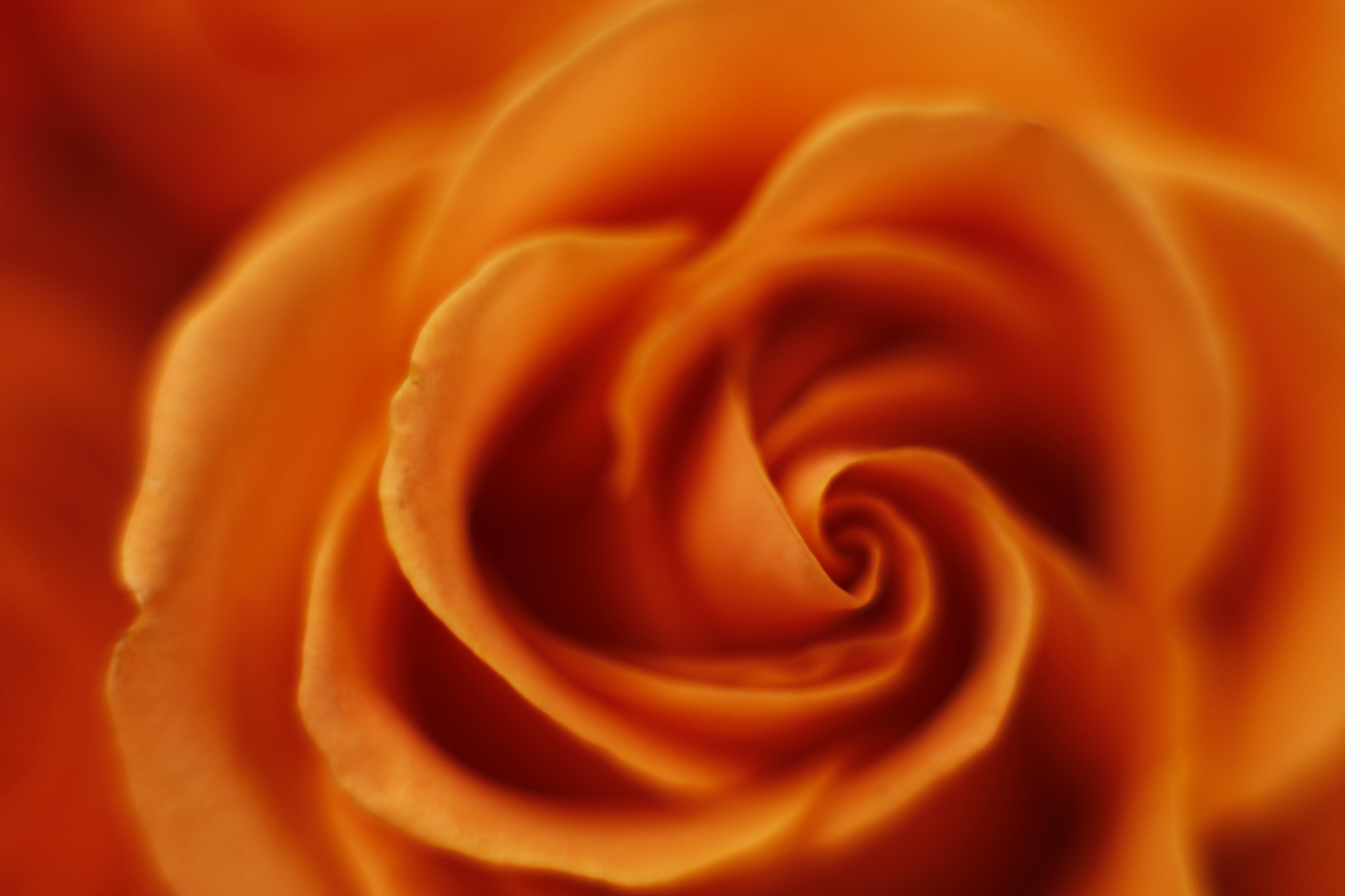 Free stock photo of bokeh, flower, macro, Orange Rose